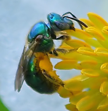 Is this an Emerald Wasp? - Augochlorella