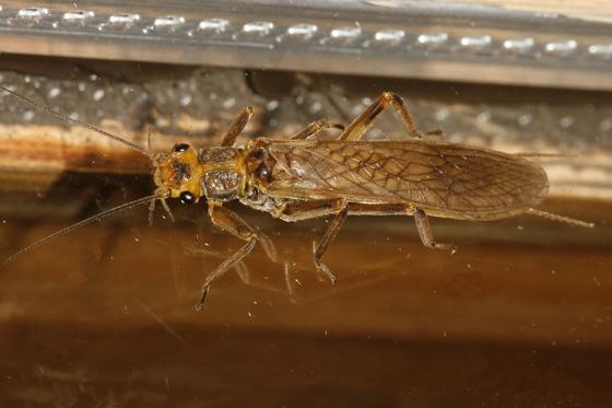 Plecoptera - Calineuria californica