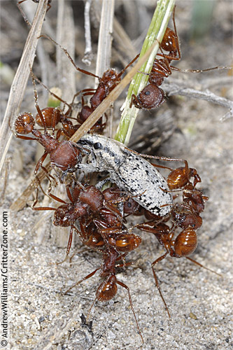 red harvester ants hunting weevil - Pogonomyrmex