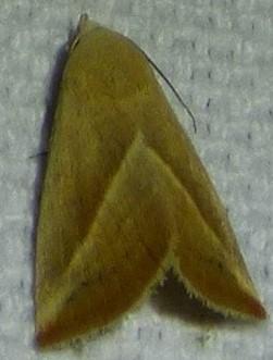 Hypena degesalis - Eublemma recta