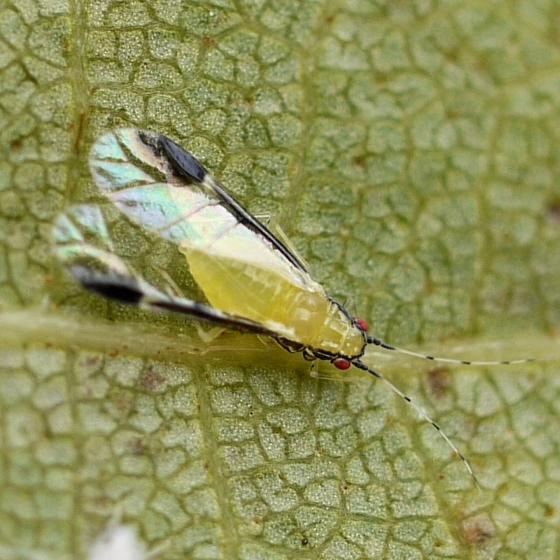 aphid - Monellia caryella