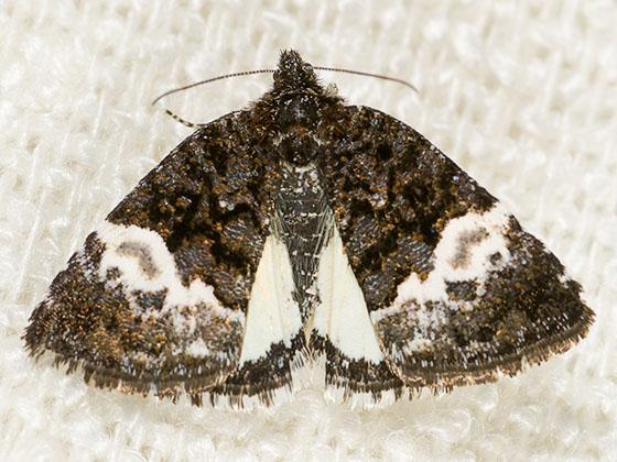 Annaphila diva