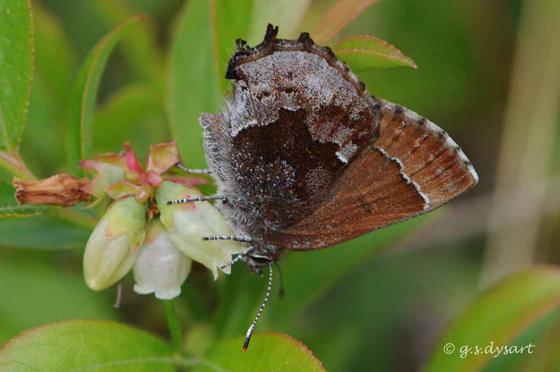 Elfin - Callophrys irus - female