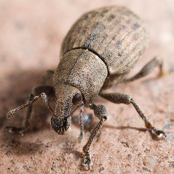 Weevil - Tropiphorus terricola