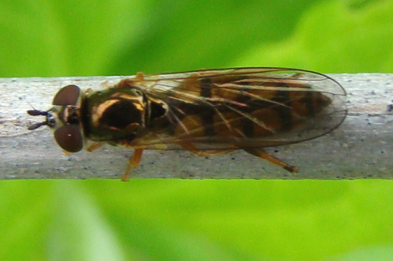 Syrphidae, maybe Platycheirus - Platycheirus
