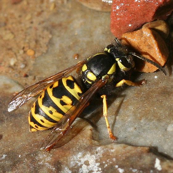 Yellowjacket - Vespula atropilosa - female