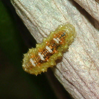 Tiny Caterpillar on Rose of Sharon