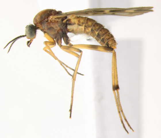 Anisopodidae, Wood Gnat, lateral - Sylvicola alternatus - female