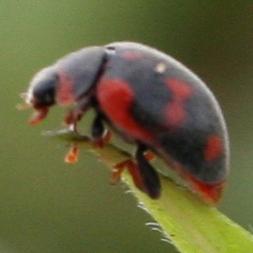 Vedalia Lady Beetle - Rodolia cardinalis