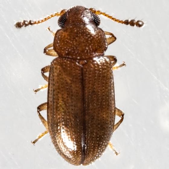 Tiny Beetle - Loberus impressus