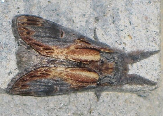 Base-streaked Prominent - top - Notodonta scitipennis