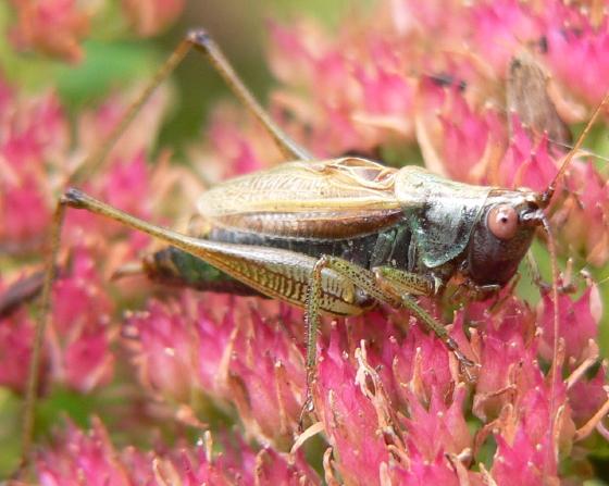 Woodland Meadow Katydid - Conocephalus nemoralis - male
