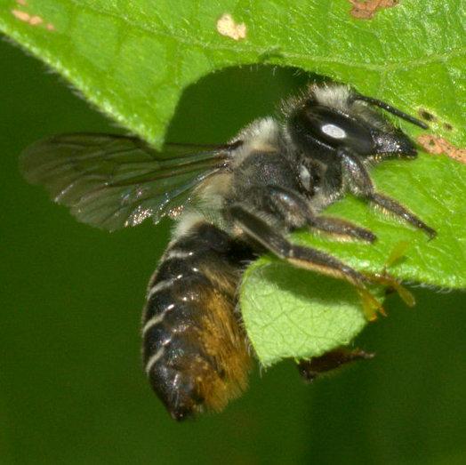 Leaf-cutter bee.  Megachile? - Megachile mendica - female