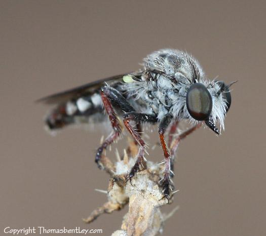 Robberfly - Heteropogon davisi