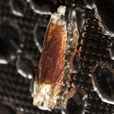 Reddish Phaneta Moth - Hodges #2928 - Eucosma raracana