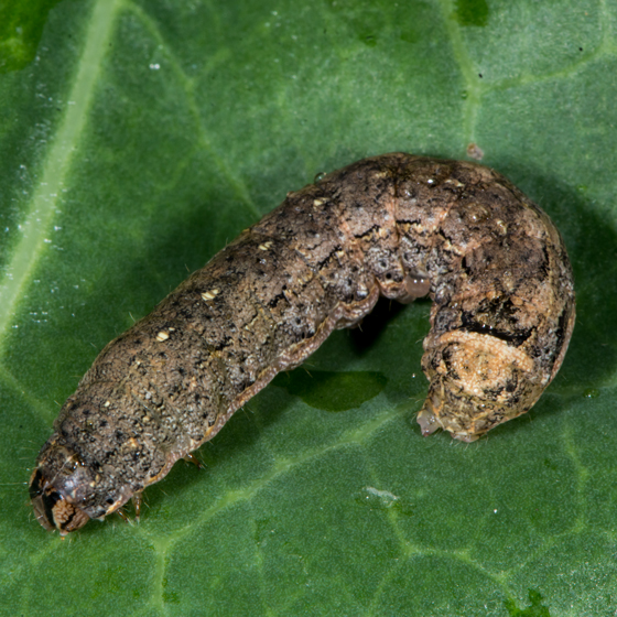 Unknown Caterpillar - Peridroma saucia