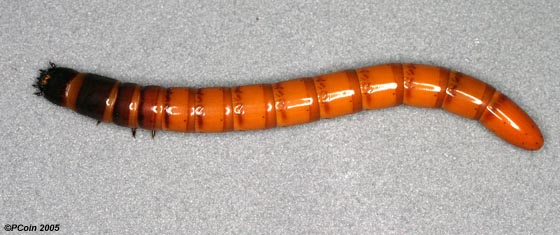 Large Wireworm - Orthostethus infuscatus