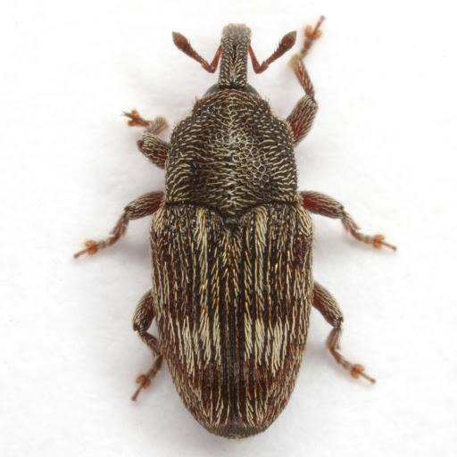 Stictobaris ornatella Casey - Stictobaris ornatella