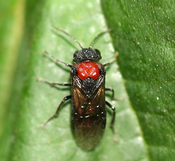 black and red sawfly - Eriocampa ovata