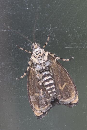 Micro moth - Ornarantia dyari