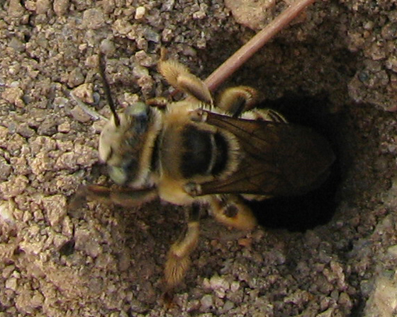 ID for ground-nesting bees? - Melissodes - female