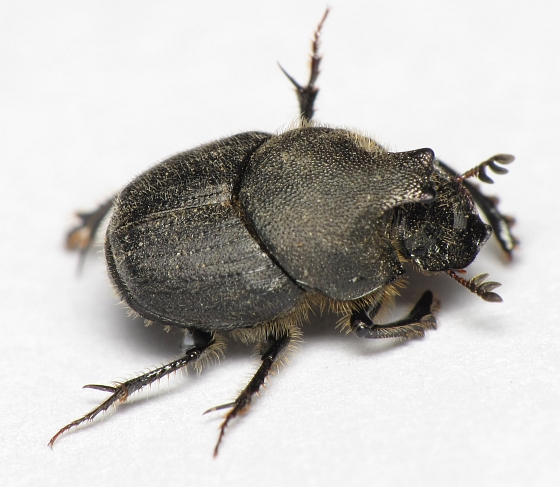 Onthophagus hecate - male