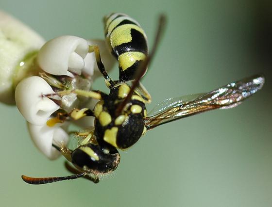 Pterocheilus - female