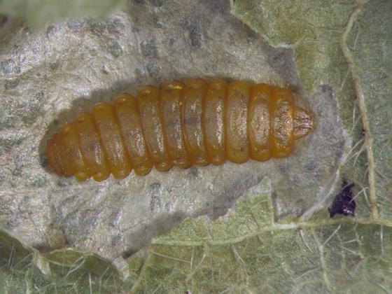 Gracillariidae, larva - dorsal (maple) - Cameraria