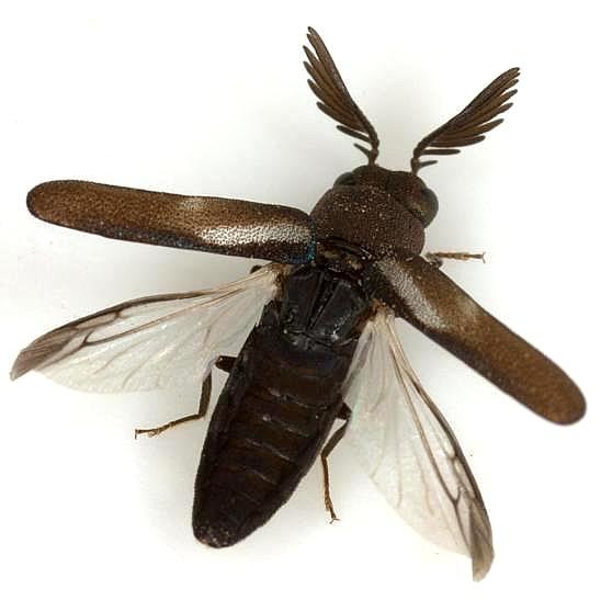 Xenorhipis hidalgoensis Knull - Xenorhipis hidalgoensis - male