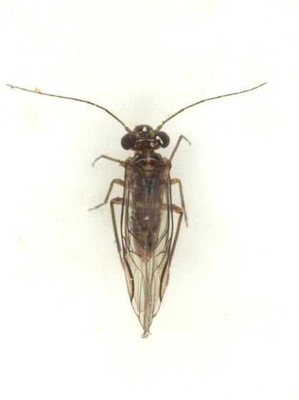 Blastopsocus johnstoni Mockford - Blastopsocus johnstoni - male