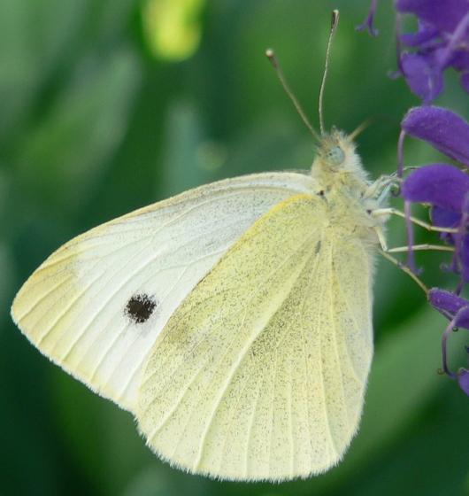 Cabbage White - Pieris rapae