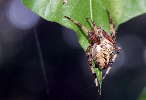 Large Orb Weaver - Araneus nordmanni