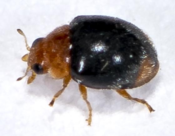 Beetle ID request - Diomus roseicollis
