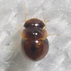Broad-headed tiny beetle - Clambus