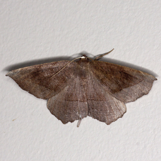 Curve-toothed Geometer - Hodges #6966 - Eutrapela clemataria
