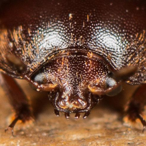Nitidulidae? - Aethina tumida