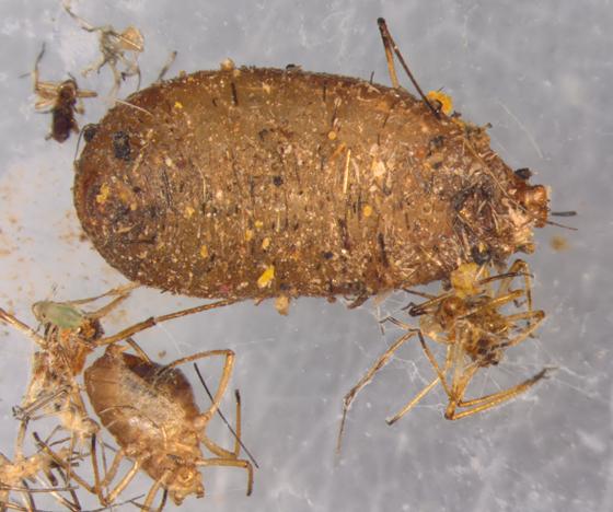 Syrphidae puparium, ventral
