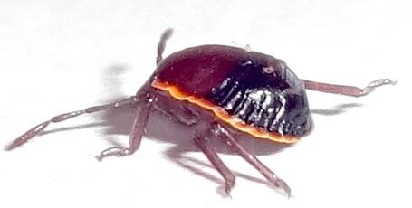 Turtle bug nymph  ?