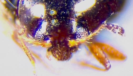 Limnichidae? - Ephistemus globulus