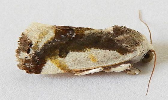 Arizona Moth - Tarache cora