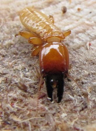 Termite - Zootermopsis