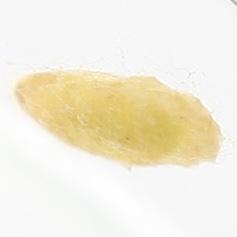 Stigmella myricafoliella