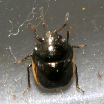 small black bug - Corimelaena pulicaria