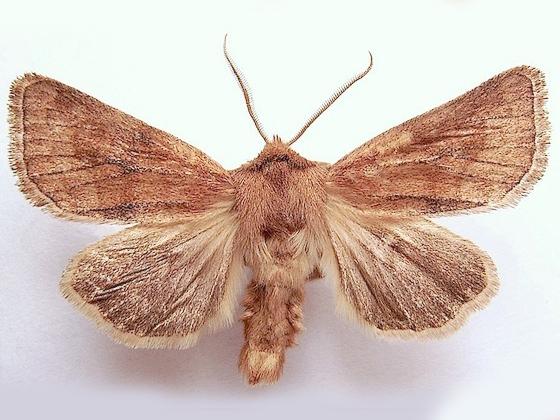 Nephelodes Moth - Nephelodes demaculata