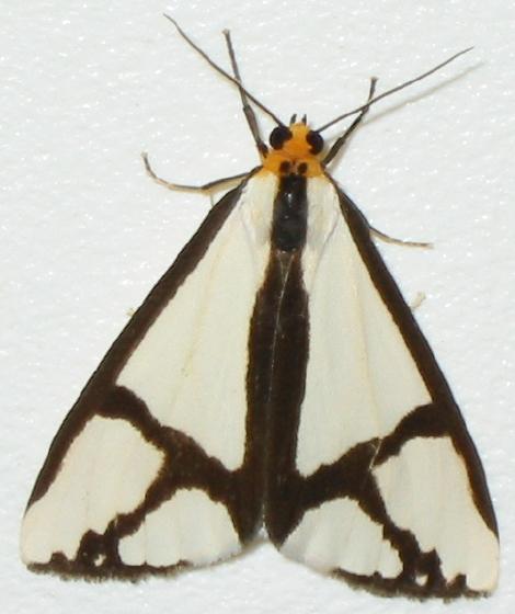 The Neighbor Moth - Haploa contigua