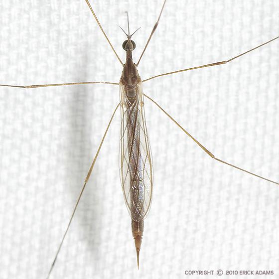 Beaked Cranefly - Toxorhina magna - female
