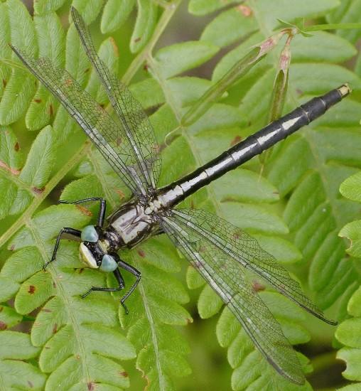 pond clubtail - Arigomphus - female
