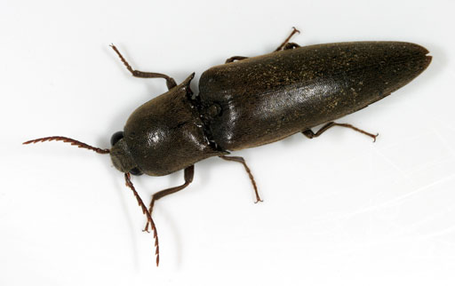 Large Brown Click Beetle - Orthostethus infuscatus
