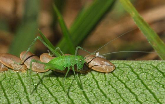 katydid - Microcentrum