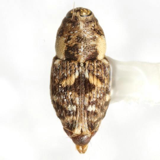 Cylindrocopturus mammillatus (LeConte) - Cylindrocopturus mammillatus